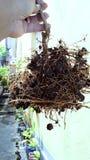 Root of a lemon tree royalty free stock photo
