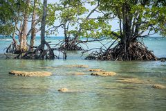 Root of the mangrove trees in mangrove forest,. Intertidal forest. gnarled mangrove trees in sea water royalty free stock images