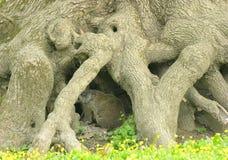 root na Obrazy Stock
