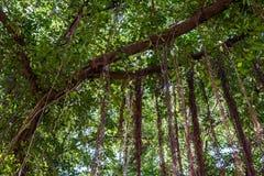Free Root Of Ficus Benjamina. Stock Photos - 111650913