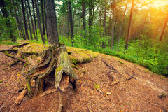 The root of an old tree in a forest Stock Photo