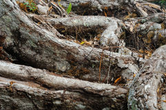 Root of the old tree Stock Photo