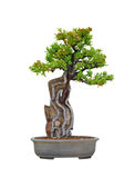 Root over Rock Bonsai. Pyracantha Angustifolia Narrowleaf Fire thorn Root over Rock Bonsai Stock Photos