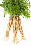 Root Parsley in a Bunch Stock Photography