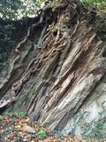 Root and rock entwined. Grey rock and deep roots entwined in forest environment royalty free stock photography