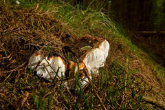 Root rot fungus Stock Photos