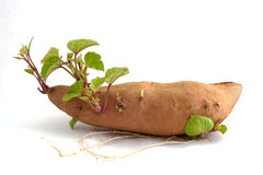 Root and spread sweet potato. On white background Royalty Free Stock Image