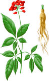 The root and stem of ginseng Royalty Free Stock Photography