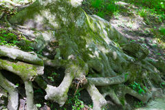 The root system of an ancient pine forest. On the slope stock photography
