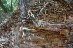The root system of a tree on rocky coast Royalty Free Stock Photo