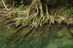 Root system of a tree in tropical forest Royalty Free Stock Images