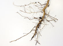 Root system on a white background Stock Image