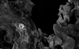 The Root to One`s Heart. A Single Diamond on a Dried Tree Root, Showing the Facet Cut of the Gem Stone with the Harsh Texture of the Old Carbon Material royalty free stock photo