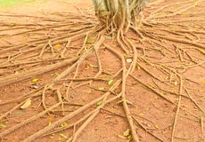 Root of tree. The root of tree, Thailand Royalty Free Stock Photography