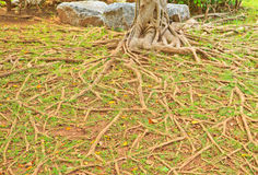 Root of tree Stock Image