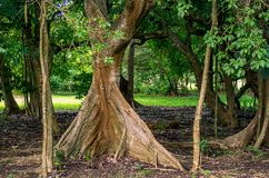 Root tree, Acomat Boucan Sloanea caribaea, Guadeloupe. Caribbean, French Antilles stock photo