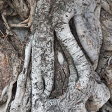 Root of the tree ages Royalty Free Stock Image