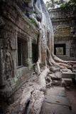Root of the tree, Angkor, Cambodia Stock Photography