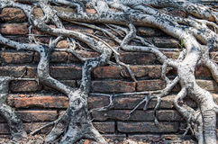 Root tree on the antique Brick wall. Texture. Background Royalty Free Stock Images