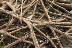 Root Royalty Free Stock Photo