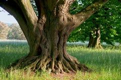 Root tree Stock Photos