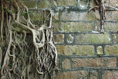Root of tree. Covered old wall Royalty Free Stock Photo