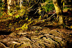 Root tree in the forest Royalty Free Stock Photography