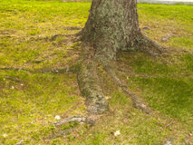 Root of a tree on a garden. On autumntime Royalty Free Stock Photography