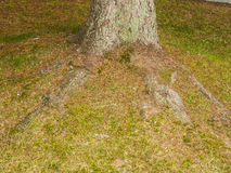 Root of a tree on a garden. On autumntime Royalty Free Stock Photo