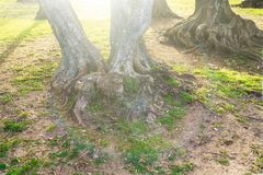 The root of the tree in the green grass. Stock Image