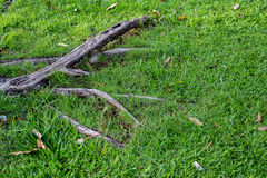 The root of the tree in the green grass. Stock Photos