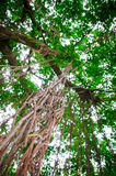 Root of tree. Hanging from above Royalty Free Stock Image