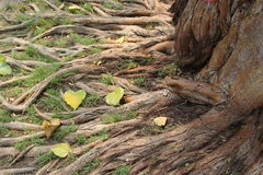 Root tree. Have duty absorption tree`s food Stock Image
