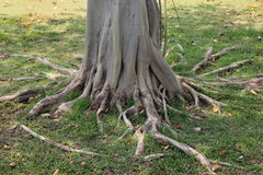 Root tree. Have seized trunk Stock Photos