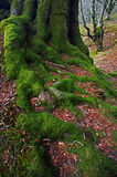 Root of tree with green moss Stock Photos