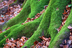 Root of tree with moss. Root of tree with moss and autumn leaves Royalty Free Stock Images