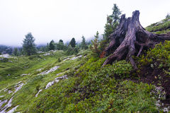 Root of tree in the mountains, Falzarego pass, Dolomites, Italy Stock Photo