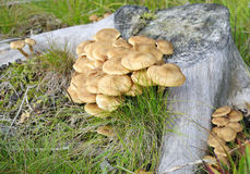 Root tree mushroom Stock Photo