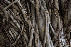 Root of tree. Pattern of the root of banyan tree Stock Photography