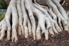Root tree Stock Photography
