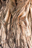 Root of tree. In vascular plants, the root is the organ of a plant that typically lies below the surface of the soil Royalty Free Stock Photos