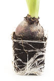 Root and Tuber Hyacinth Stock Photography