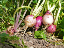 Root vegetable Royalty Free Stock Photo