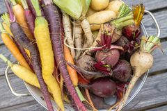 Root vegetables from the garden. Selection of root vegetables; carrots, parsnips, beets and potatoes fresh from the garden royalty free stock photos