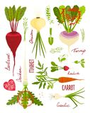 Root Vegetables with Greens Signs and Symbols Royalty Free Stock Photography