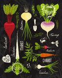 Root Vegetables With Leafy Tops Set For Design On Royalty Free Stock Images