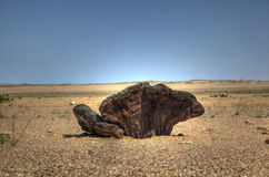 Root of a Welwitschia plant in Namibian desert Royalty Free Stock Photos
