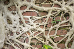 Root wood. Covered brick wall Stock Photography