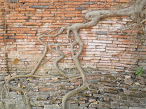 Root wood covered brick wall, Thailand Royalty Free Stock Images