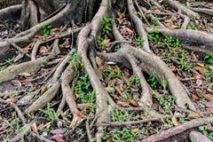 Rootage del árbol Fotografía de archivo